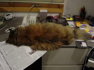 Furball about to roll off the desk